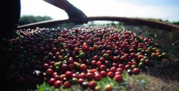 Safra de café do Brasil será recorde em 2020, prevê Rabobank