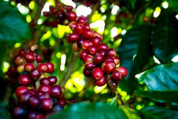 Mesmo após quedas nas exportações, café abre semana recuando forte em Nova York e em Londres
