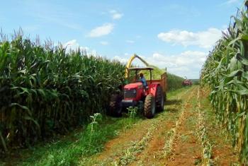 Pesquisa utiliza silagem de espiga de milho e resíduos de colheita para alimentar novilhos
