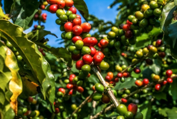 Café: De olho nos maiores produtores de arábica, mercado futuro abre com desvalorização